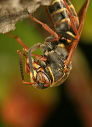 skadedyrsbekæmpelse århus hvepse