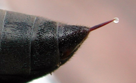 hvepsestik allergisk reaktion hvor hurtigt