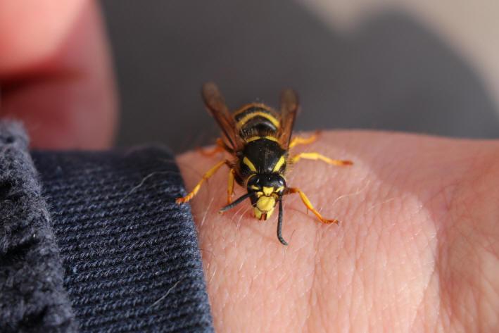 pulver mod hvepse